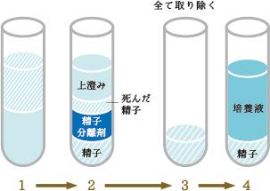 精子調整の過程図